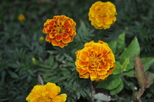Colorful Marigold Flower On A ...