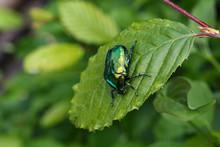 Macro Photo Of Cetonia Aurata On A Green Leaf