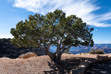 Juniper Tree At The Grand Canyon