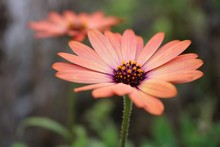 Two Pink African Daisy Flowers In Lign, One Blurring In The Background. Soft Green Background