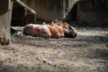 Newly Born Piglets Resting On ...