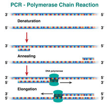 The Cycles Of DNA Molecule Amplification By Polymerase Chain Reaction, PCR