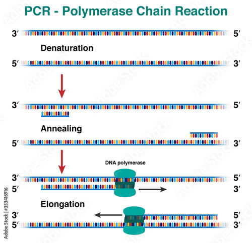 Fotografía The cycles of DNA molecule amplification by polymerase chain reaction, PCR