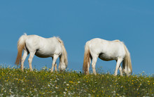 Two White Horses Grazing In A ...