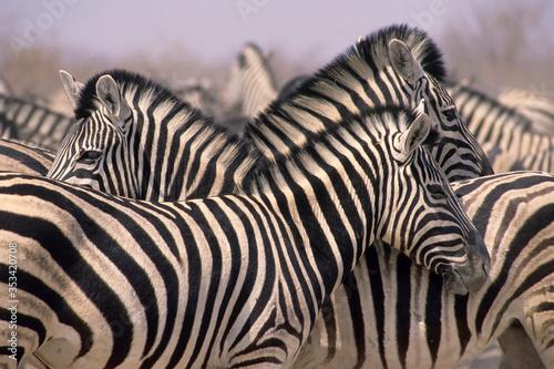 African zebra herd Etosha National Park,Namibia