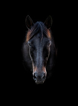 Head Portrait Of A Black Horse With Black Background