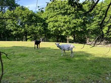Two Goats In A Grass Pasture, ...