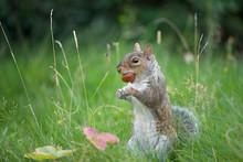 Grey Squirrel Bites A Conker
