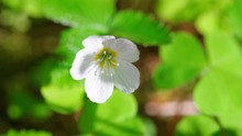 Oxalis White Flower Swaying In The Wind View From Above. Tilt Down.