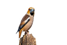 Male Hawfinch, Coccothraustes Coccothraustes, Sitting On A Branch And Looking Behind Isolated On White. Song Bird With Orange Plumage And Strong Beak Perched On Bough Cut Out On Blank.
