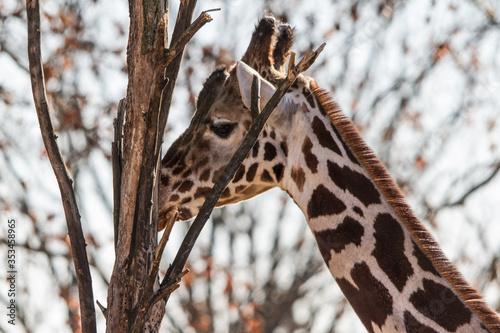 Photo Eine Giraffe an einem Baum.