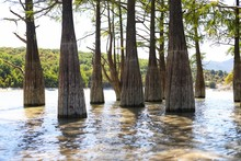 Cypress Trees Stand In The Water In Summer Against The Background Of Green Hills