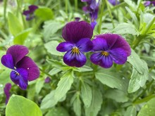 Selective Focus Shot Of Beautiful Purple Pansy Flowers Covered With Morning Dew