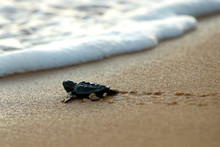 Cute Hatchling Baby Loggerhead Sea Turtle (caretta Caretta) Crawling  To The Sea After Leaving The Nest At The Beach Praia Do Forte On Bahia Coast, Brazil, With Footprints On The Sand, Top View