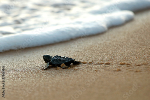 Valokuva Cute hatchling baby loggerhead sea turtle (caretta caretta) crawling  to the sea