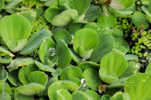 Fototapety, obrazy: green beans in the garden