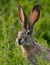 Black-tailed Jackrabbit In The Meadow