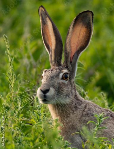 Fotografia, Obraz Black-tailed Jackrabbit in the Meadow