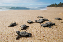 Hatchling Baby Hawksbill Sea Turtle (Eretmochelys Imbricata) Crawling To The Sea After Leaving The Nest At The Beach On Praia Do Forte, Bahia Coast, Brazil, With Coconut Palm Trees Background