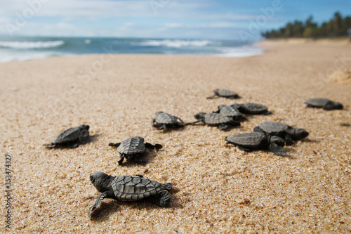 Canvas-taulu Hatchling baby hawksbill sea turtle (Eretmochelys imbricata) crawling to the sea