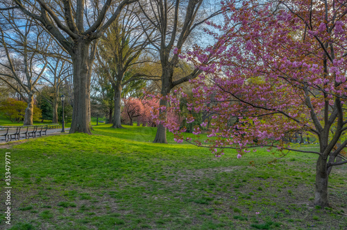 Fototapety, obrazy: Central Park in spring with Japanese cherry tree