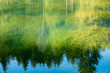 canvas print picture - water background with reflecting fir trees and green plants