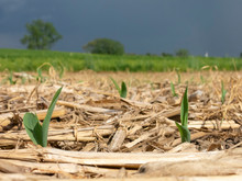 Sprouts Of Field Corn Emerging...