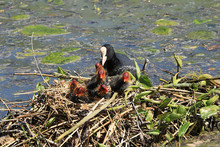 Mom Coot Duck Feeds Her Ducklings On The Lake, Raising Offspring In The Wild, Taking Care Of Her Cubs, Survival In Difficult Conditions