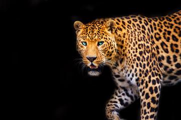 Leopard on black background, beautiful portrait. Animal world. Big cat.