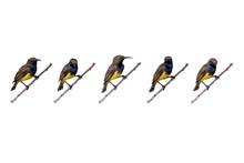 Set Of Olive-backed Sunbird (C...