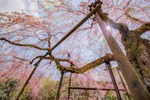 桜の木を見上げる春