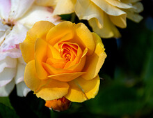 Closeup Of A Deep Yellow Rose, With Tiny Dewdrops And A Bokeh Background, Which Represents Friendship, Joy And Caring.