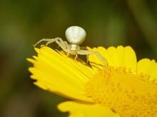 Closeup Shot Of White Goldenro...