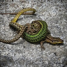 Closeup Shot Of Two Lizards Fighting  On Stone