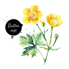 Hand Drawn Watercolor Yellow Buttercup Flower Illustration. Vector Painted Sketch Botanical Herbs Isolated On White Background