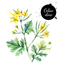 Hand Drawn Watercolor Celandine Flower Illustration. Vector Painted Sketch Botanical Herbs Isolated On White Background