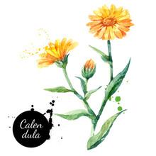 Hand Drawn Watercolor Calendul...