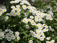Tanacetum Parthenium, Grande Camomille Ou Partenelle, Fleur Comestible Et Ornementale Aux Pétales Simples Volant Blanc, Coeur Jaune Doré