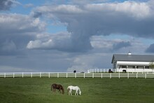 Barn Of White And Brown Horses...