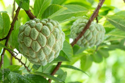 Foto custard apple, sugar apple on tree. Annona squamosa Linn.