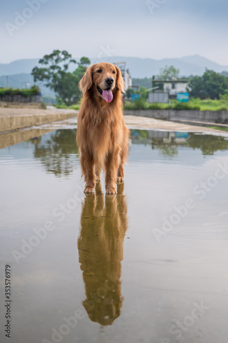 Tablou Canvas The Golden Retriever stood above the stagnant water, and the water surface refle
