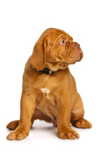 Puppy Dog, Isolated On White. Dogue De Bordeaux
