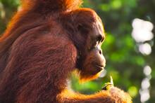 Bornean Orangutan [Pongo Pygma...