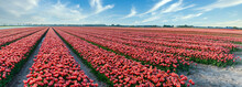 Panorama Of Red Tulips In The ...
