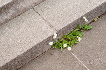 Daisies Growing On Concrete St...
