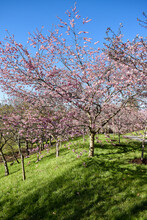 Spring Blossoms Of Japanese Ch...