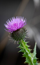 A Close-up Of A Scotch Thistle...