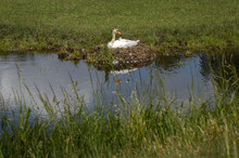Swan At Nest. Swan Breeding. Brooding. Hamingen Netherlands