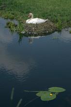 Swan At Nest. Swan Breeding. Brooding. Hamingen Netherlands