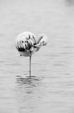 Greater Flamingos Preening, Asker, Bahrain